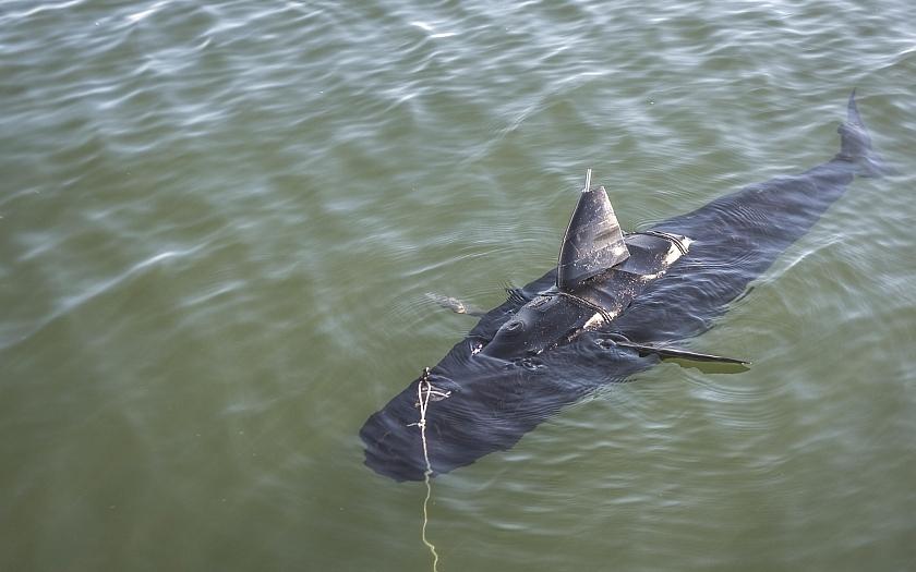 Americký špionážní podvodní dron GhostSwimmer