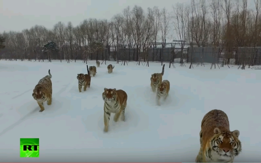 (VIDEO) Sibírske tigre zneškodnili dron
