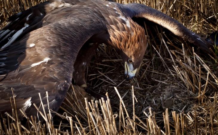 Exkluzivně: Myslivec na Slovensku zastřelil chovateli orla. Justici čeká těžká zkouška