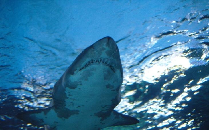VIDEO: Filmové Čelisti v reálu. Žralok dotíral na loď s turisty