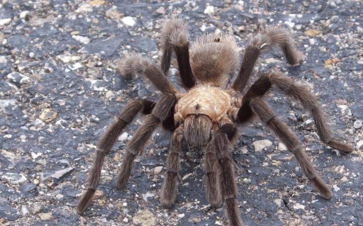 VIDEO: Trpíte arachnofobií? Žena žije s 1 500 tarantulemi