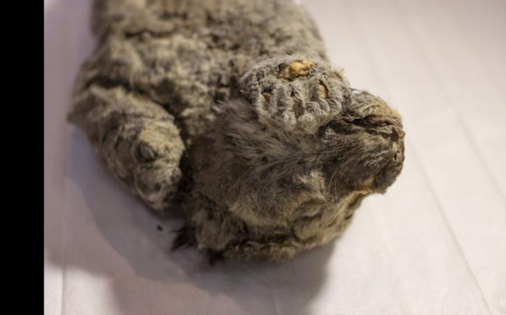 Unikátní objev na Sibiři: Vědci našli 50 000 let staré mládě jeskynního lva